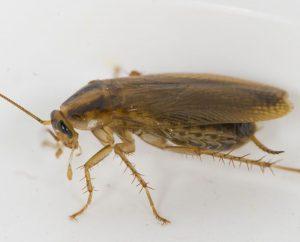 fotos cucaracha alemana