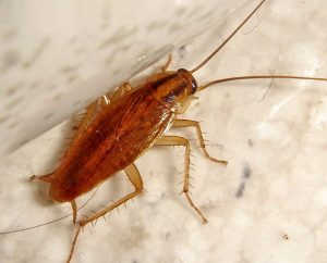 cucaracha de alemania