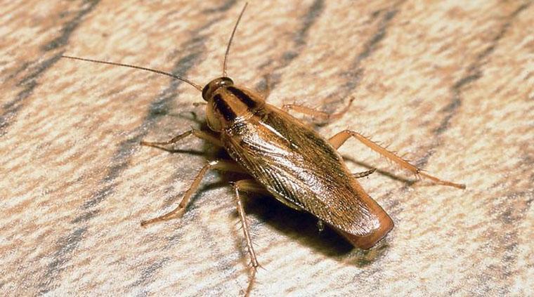 cucaracha marron alemana