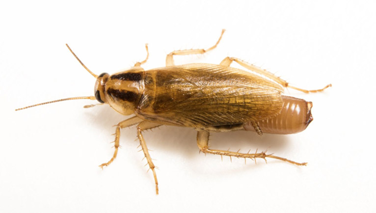 cucarachas clases durabilidad