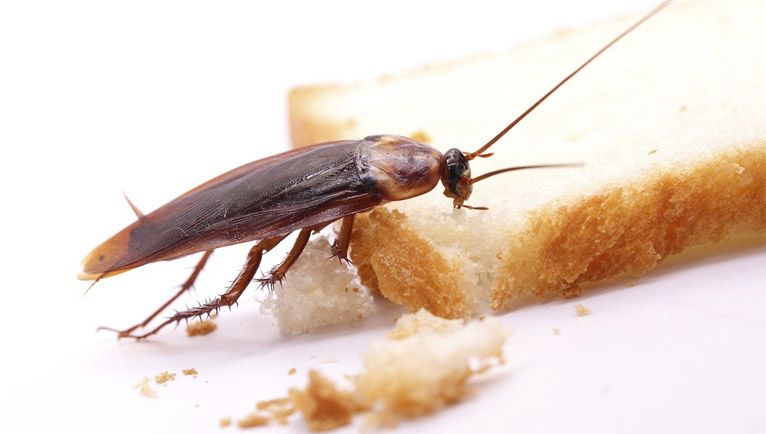 cucarachas domesticas clases