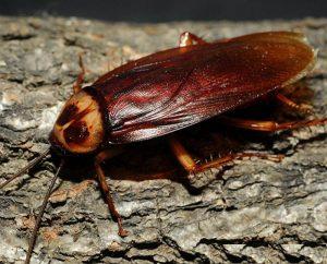 cucarachas rojas