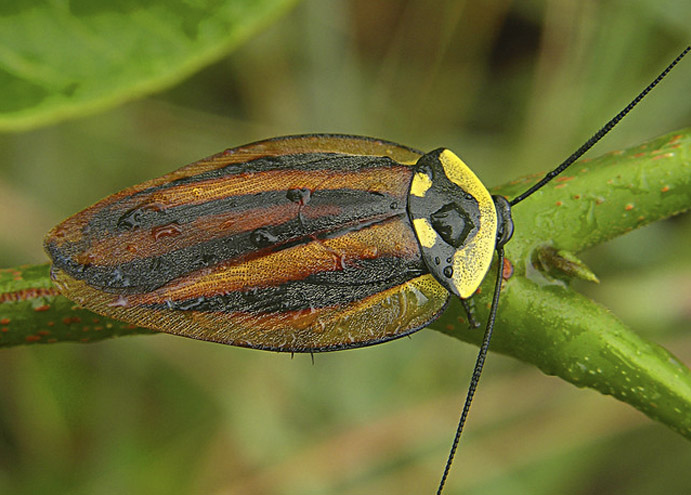 cucaracha bonita canopy cockroach