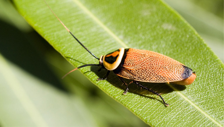 cucaracha Ellipsidion australe