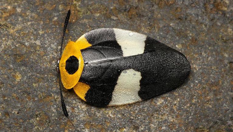 cucaracha eushelfordia pica