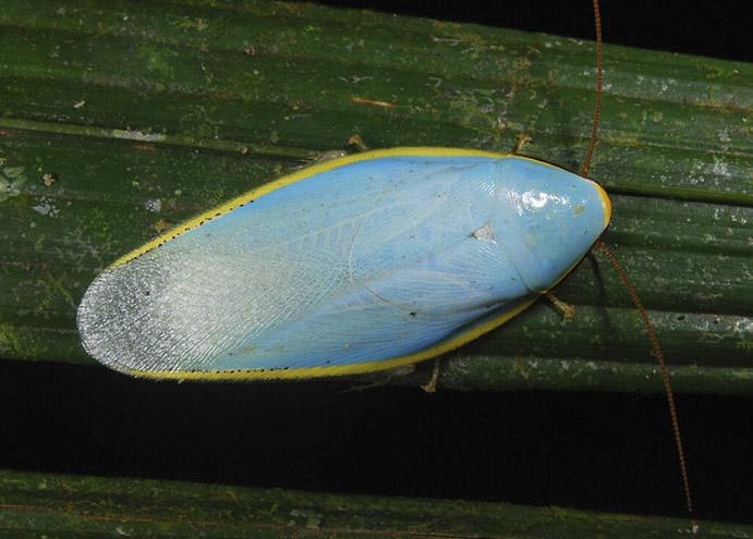 cucaracha Genus Xestoblatta