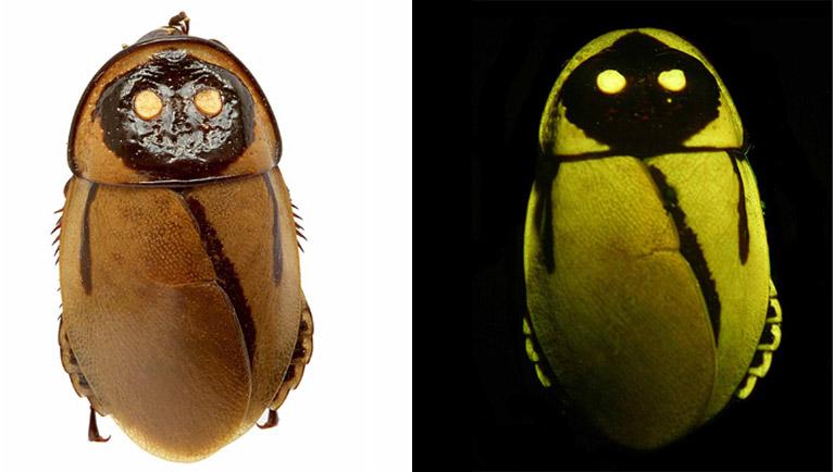 cucaracha lucihormetica luckae