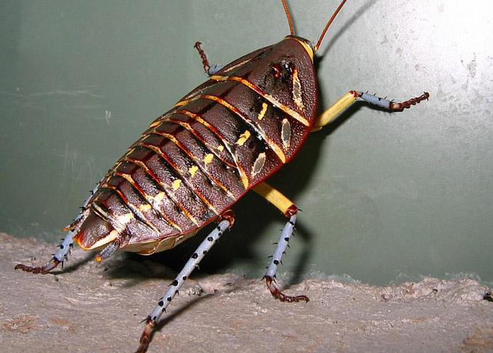 cucaracha polyzosteria mitchelli