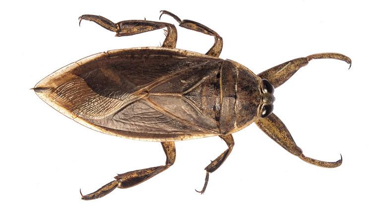 cucaracha acuatica gigante