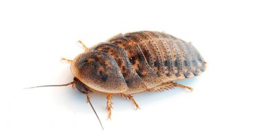 cucaracha argentina dubia