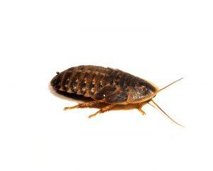cucaracha manchada de Guyana