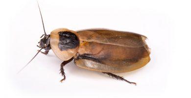 cucaracha blaberus craniifer