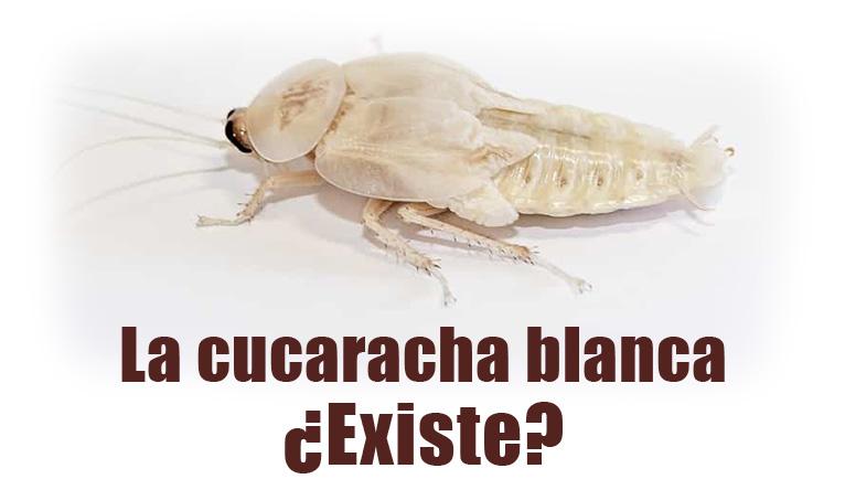 cucaracha blanca