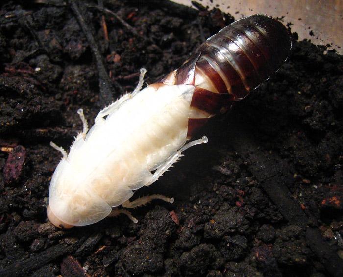 cucaracha ninfa albina