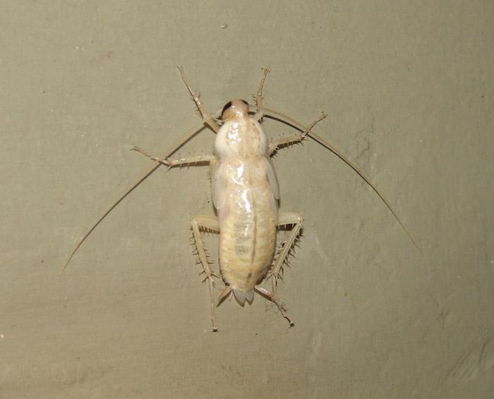 cucaracha blanca pequeña