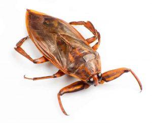 cucaracha acuatica grande