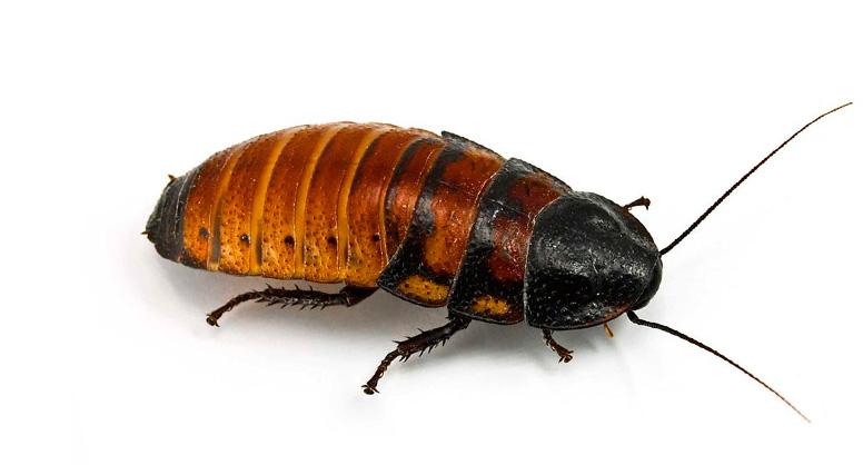 cucaracha gigante madagascar