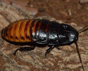 cucaracha grande Madagascar