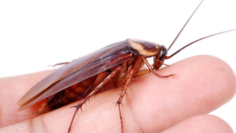 las cucarachas pican a las personas