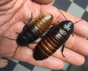 cucaracha silbadora de madagascar