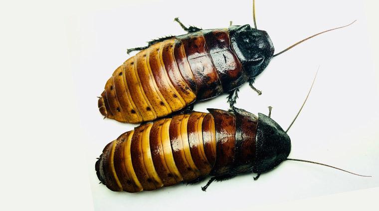 cucarachas madagascar