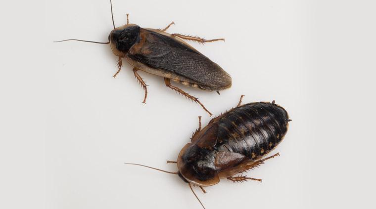 cucarachas argentinas