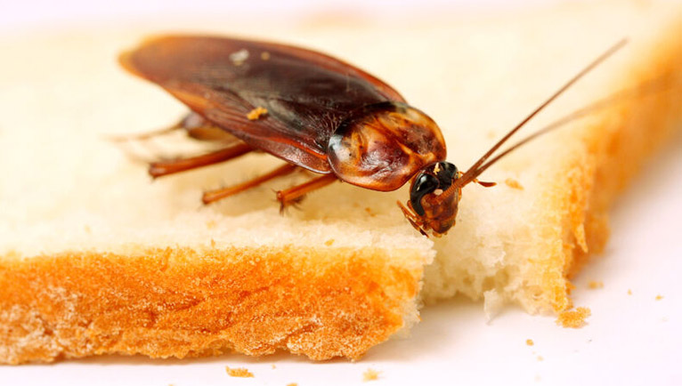 enfermedades que producen las cucarachas